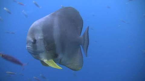 Tall Fin Batfish Stock Video Footage