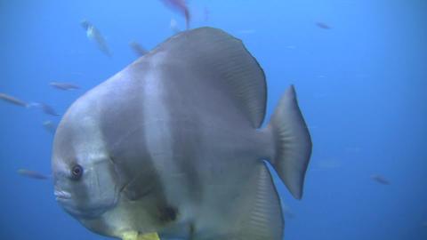 Tall Fin Batfish Stock Video Footage