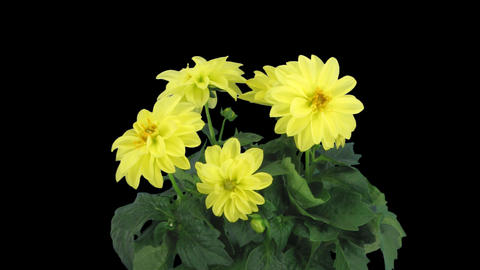 Stereoscopic 3D time-lapse of opening yellow dahlia 1a (right-eye) Footage
