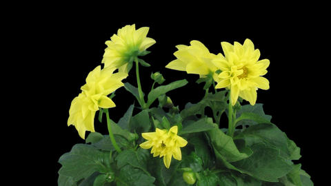 Stereoscopic 3D time-lapse of opening yellow dahlia 1c... Stock Video Footage