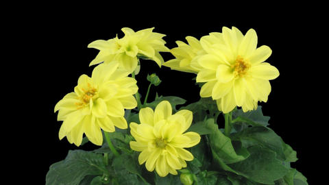 Stereoscopic 3D time-lapse of opening yellow dahlia 1c (left-eye) Footage