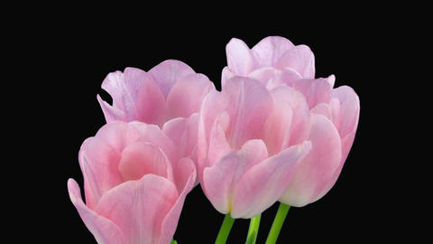 Time-lapse of opening pink tulips bouquet alpha matte 1c Stock Video Footage