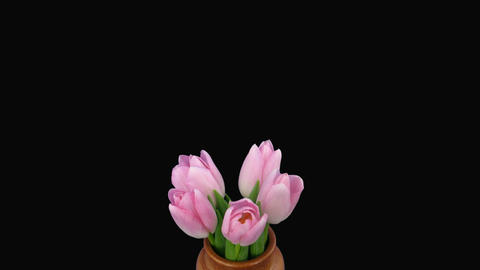 Time-lapse of opening pink tulips bouquet alpha matte 5 Stock Video Footage