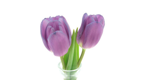 Time-lapse of opening purple tulips in vase isolated white 2 Footage