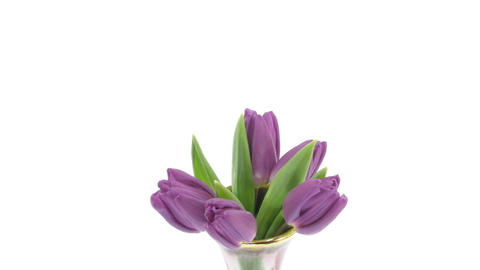 Time-lapse of opening purple tulips in vase isolated white 4 Stock Video Footage