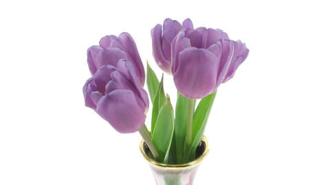 Time-lapse of opening purple tulips in vase isolated white 4 Footage