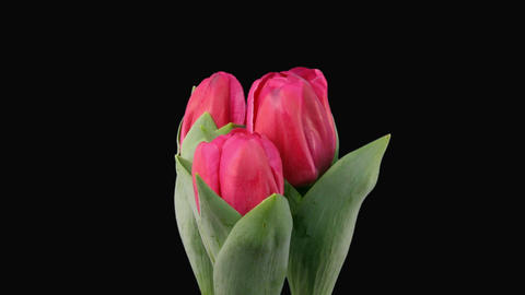 Time-lapse of growing red tulips with alpha matte 5a Stock Video Footage