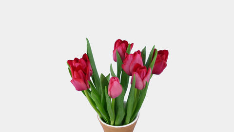 Time-lapse of opening red tulips bouquet with alpha matte 8 Stock Video Footage