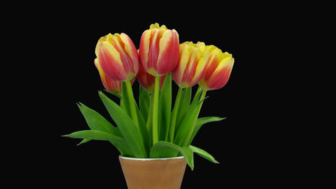 Time-lapse of opening red-yellow tulips vase alpha matte 1 Stock Video Footage
