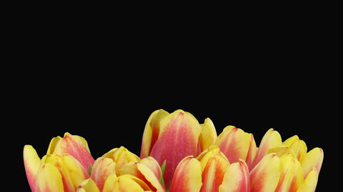 Time-lapse of opening red-yellow tulips vase alpha matte 5 Stock Video Footage