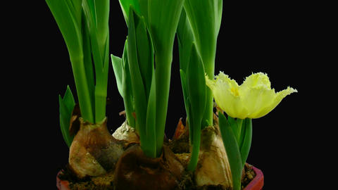 Time-lapse opening yellow tulip with ALPHA matte 1c Stock Video Footage