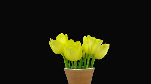 Time-lapse opening yellow tulip bouquet with ALPHA matte 6a Stock Video Footage