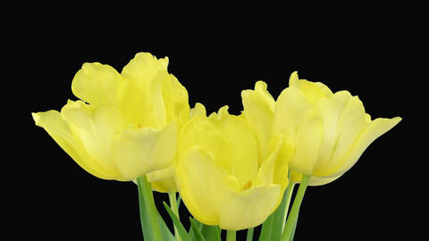 Time-lapse opening yellow tulip bouquet with ALPHA matte 7 Stock Video Footage
