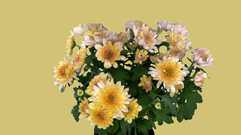 Rotating chrysanthemum flower with blue chroma key... Stock Video Footage