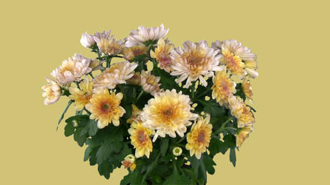 Rotating chrysanthemum flower with blue chroma key... Stock Video Footage