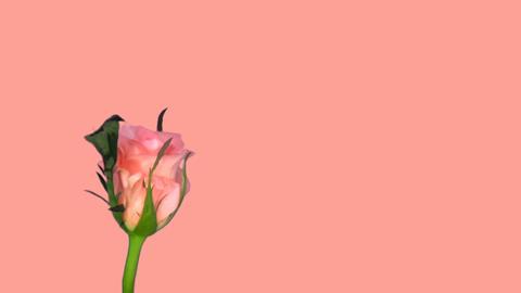 Rotating pink 'Ballet' rose blue chroma key endless loop 1 Stock Video Footage