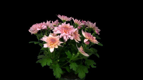 Rotating chrysanthemum flower with alpha matte endless... Stock Video Footage
