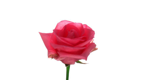 """Rotating """"Homerun"""" rose isolated on white endless loop 1 Stock Video Footage"""