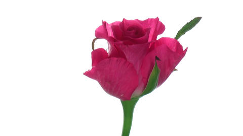 """Rotating """"Balet"""" rose isolated on white endless loop 3 Stock Video Footage"""