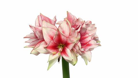 Rotating amaryllis Joker flower, endless loop 1 Stock Video Footage