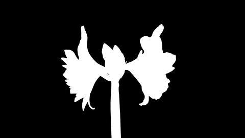 Rotating white amaryllis Christmas flower, ALPHA matte,... Stock Video Footage