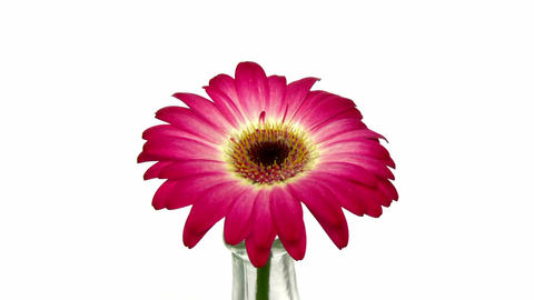 Rotating pink - white gerbera in a vase 2 Stock Video Footage