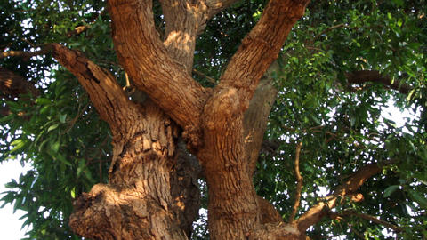 beautiful tree with foliage closeup Footage