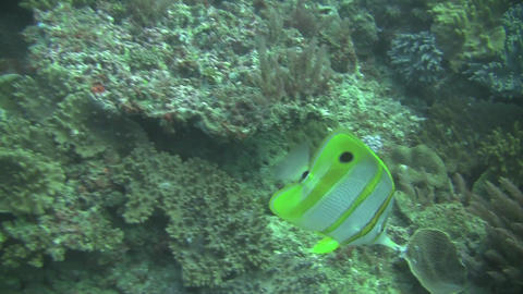 Beaked Coral Fish Stock Video Footage