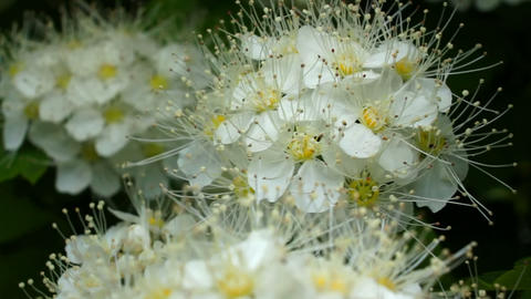 White flowers sway Stock Video Footage