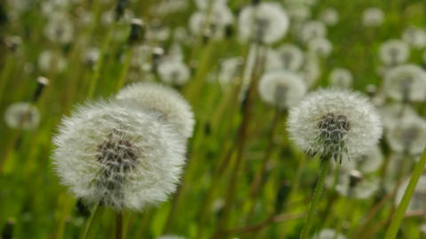 Overview of white dandelion Stock Video Footage