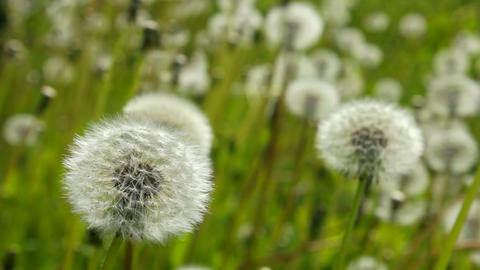 White dandelions become blurred Stock Video Footage