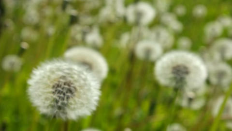White dandelions become blurred Footage