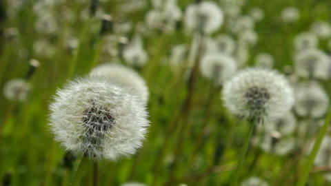 White dandelions Stock Video Footage
