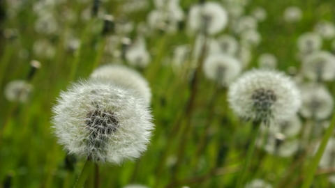 White dandelions Footage