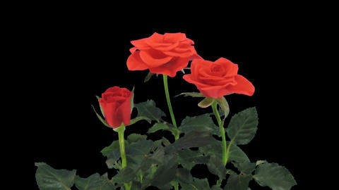 Stereoscopic 3D time-lapse of opening red rose 1a... Stock Video Footage