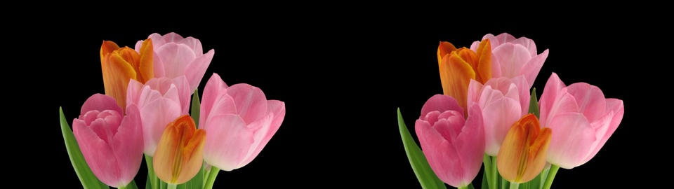 Stereoscopic 3D time-lapse of opening tulip bouquet 1b-cross-1080p Footage