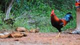 Cock Outdoors stock footage