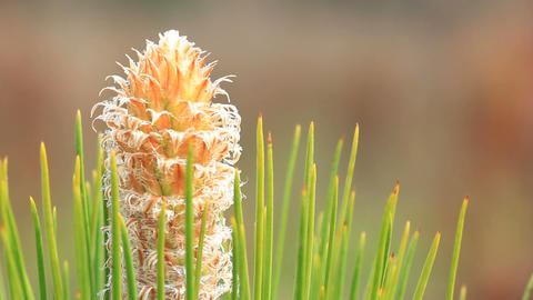Springtime Longleaf Pine Bud stock footage