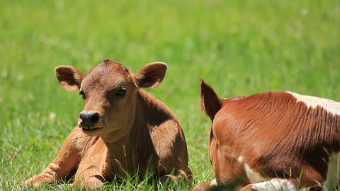Young Brown Calf stock footage