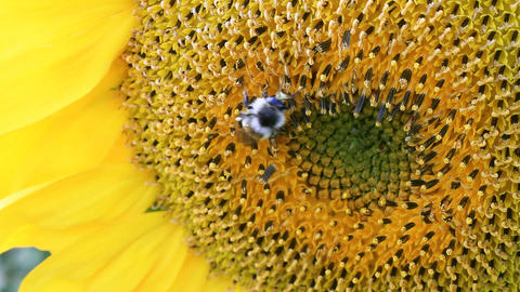 Sunflower And Bumblebee stock footage