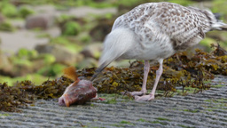 Seagull eating fish head Live Action