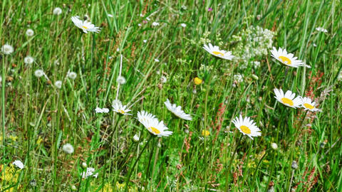 Meadow flowers swaying Footage