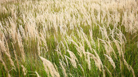 Prairie Grass Swaying stock footage