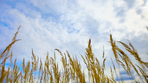 Dry steppe reeds against the sky Footage