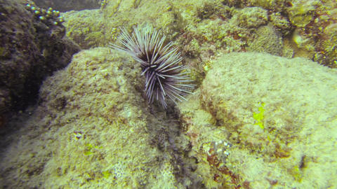 1920x1080 video - Beg sea urchin on stones Footage