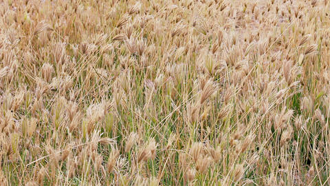 Dry Prairie Grass With Seeds Swaying In The Wind stock footage