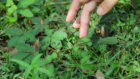 Mimosa pudica in motion Footage
