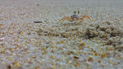 Sand or ghost crab (Ocypode) near hole at the beac Footage