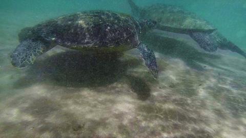 Sea turtle in the muddy water near the beach. Sri  Footage