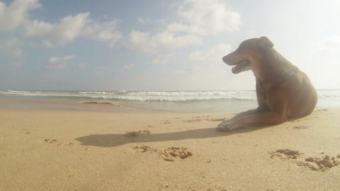 A stray dog in the hot tropical beach Footage